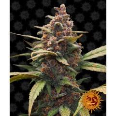 Ayahuasca Purple Feminised 1ks