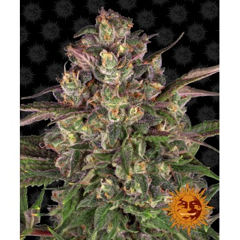 Peyote Critical Feminised 1ks