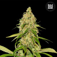 Auto CBD White Widow Feminised 1000ks