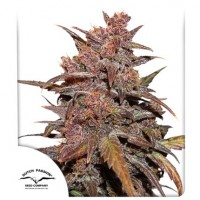 CBD Auto Blackberry Kush Feminised 1ks