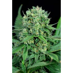 CBD Cheese Feminised 1ks