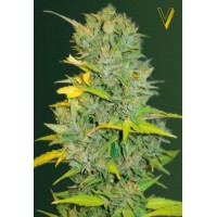 Auto Biggest Bud Feminised 5ks