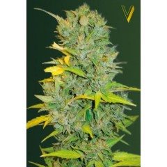 Auto Biggest Bud Feminised 3ks