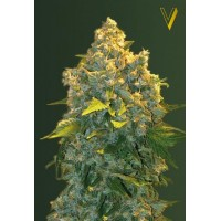 Auto Chronic Monster XXL Feminised